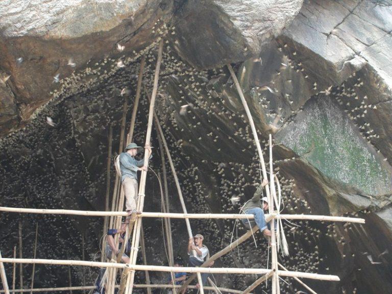 Khai thác thủ công yến sào trong hang yến
